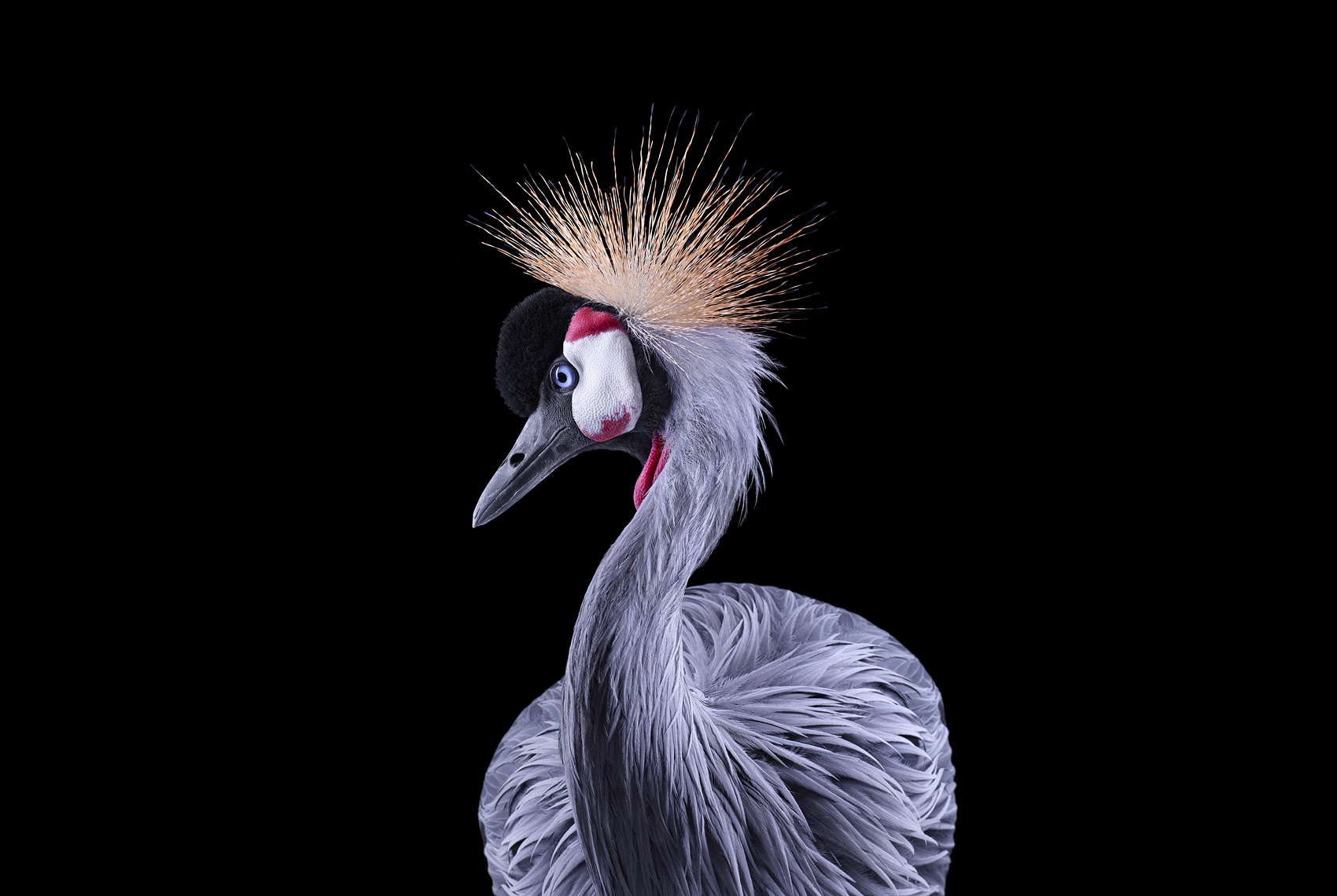 African crowned crane fine art wildlife photograph by Brad Wilson