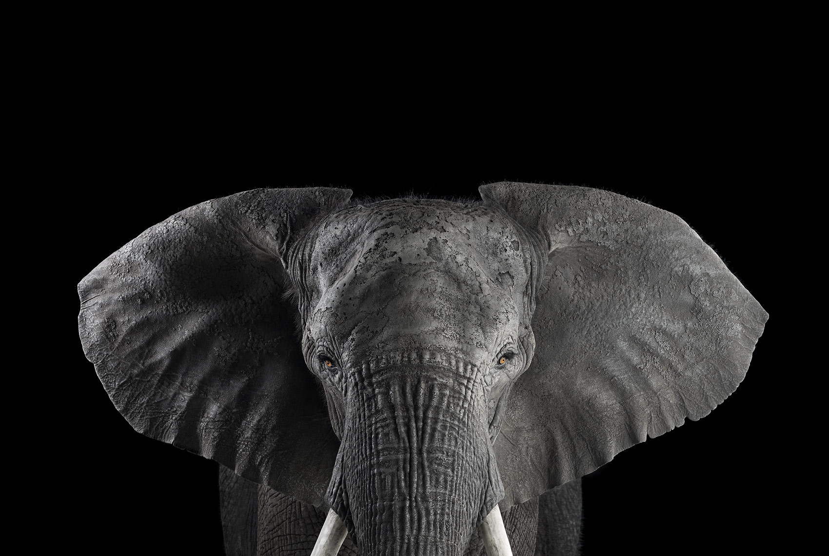 African elephant portrait by wildlife photographer Brad Wilson