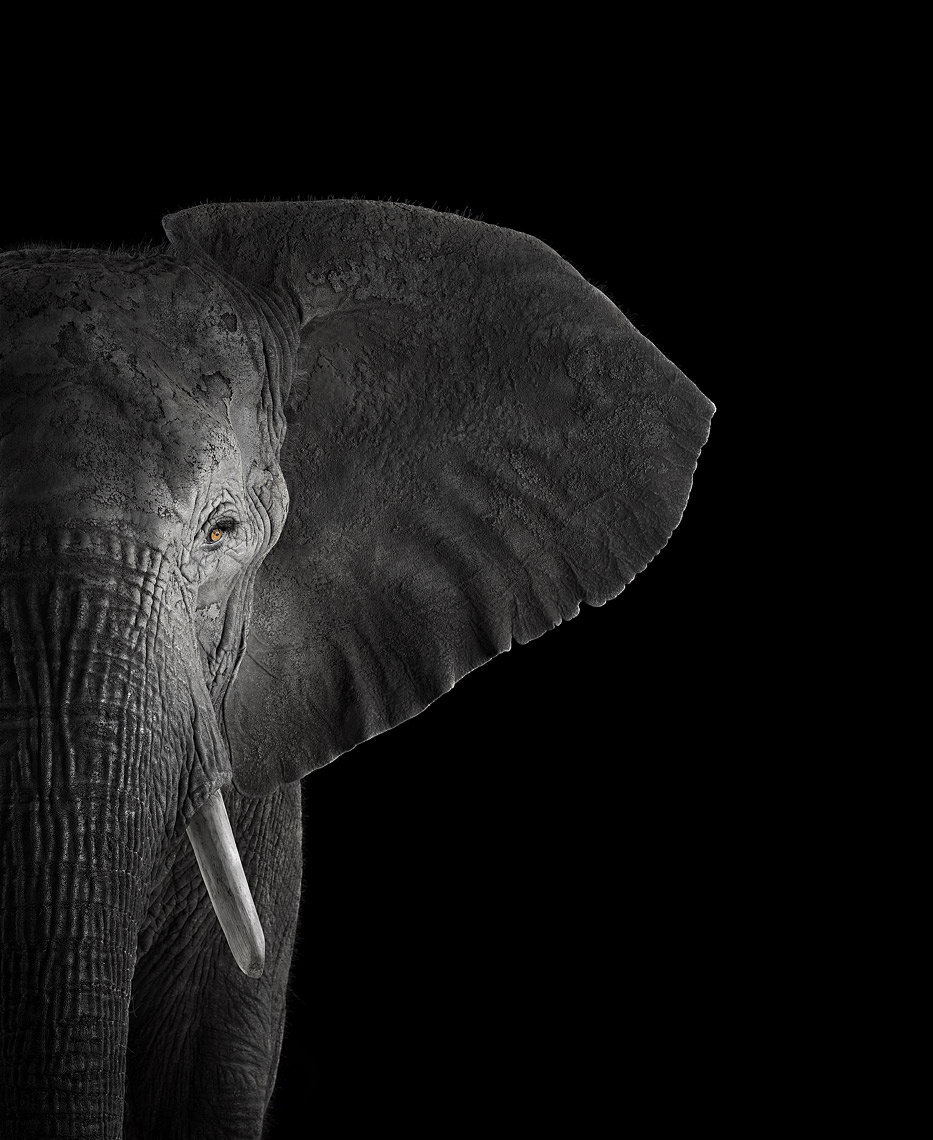 African elephant frontal studio portrait by animal photographer Brad Wilson