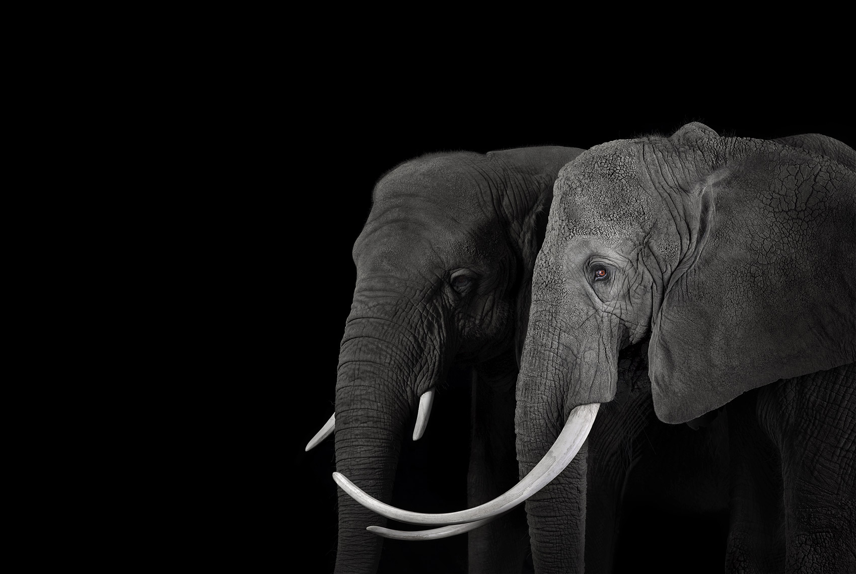 African elephants profile portrait by wildlife photographer Brad Wilson
