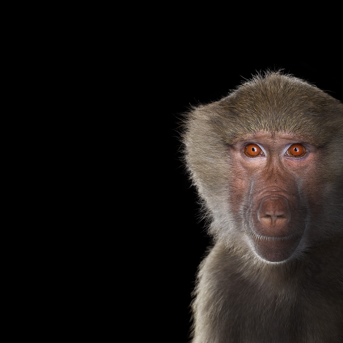 Baboon studio portrait by animal photographer Brad Wilson