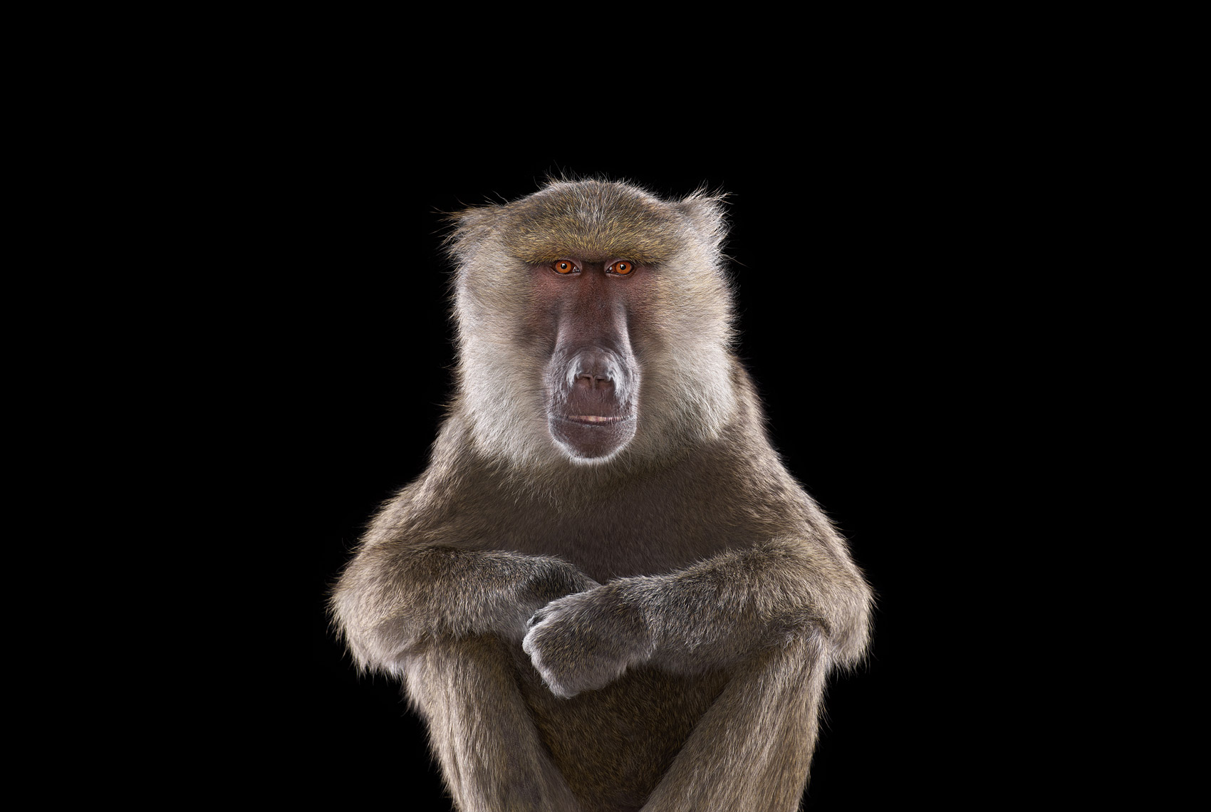 Baboon frontal studio portrait by animal photographer Brad Wilson