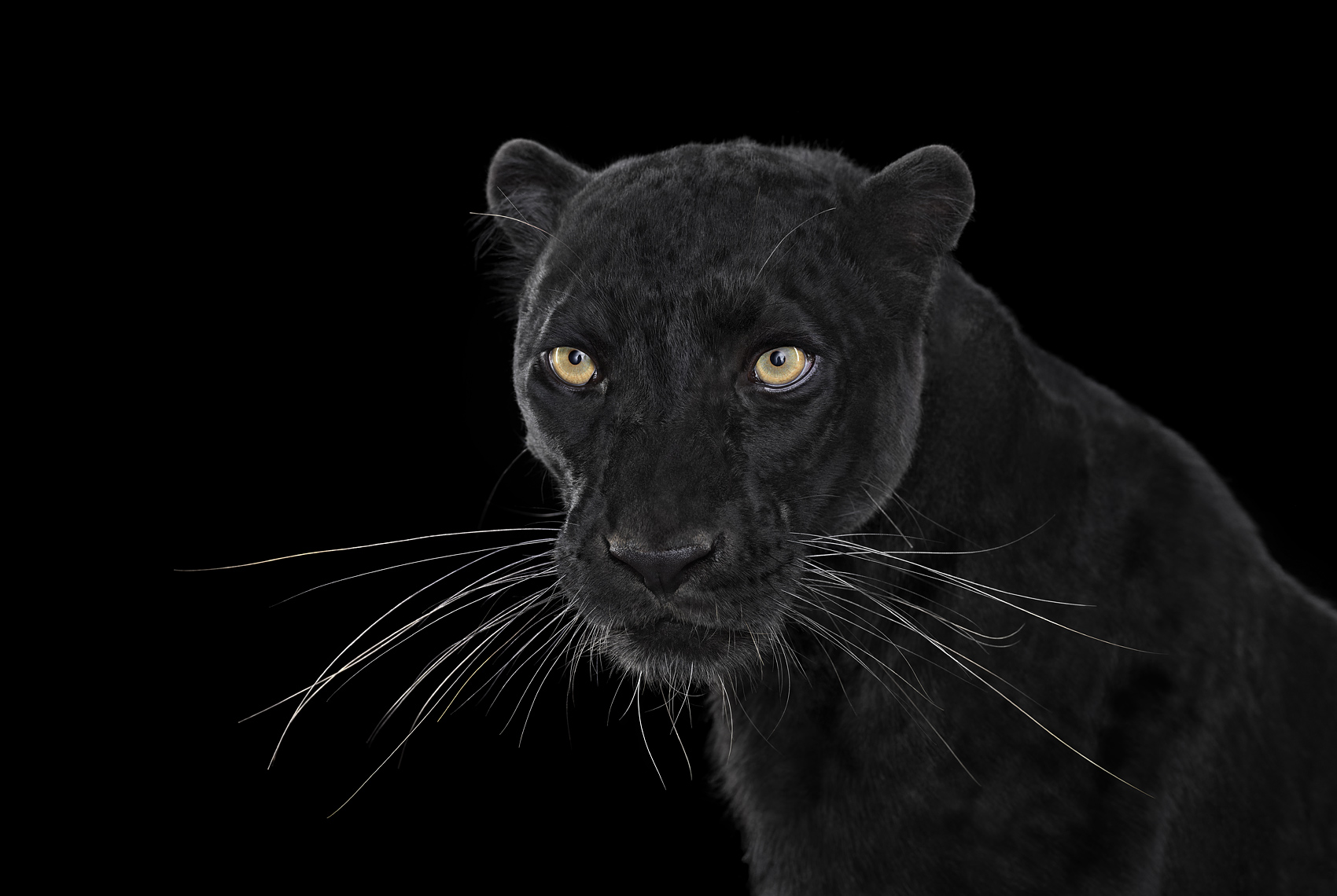 Black panther frontal studio portrait by animal photographer Brad Wilson
