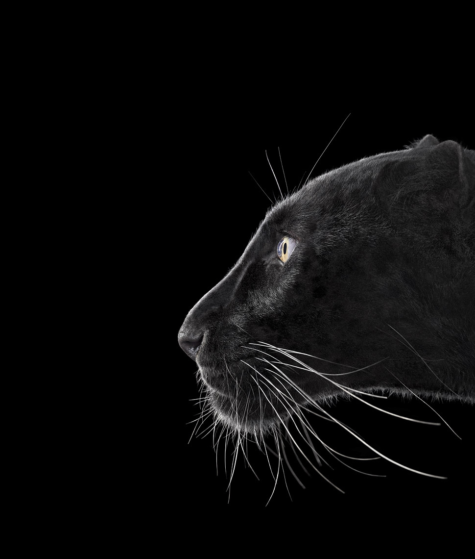 Black panther profile portrait by wildlife photographer Brad Wilson