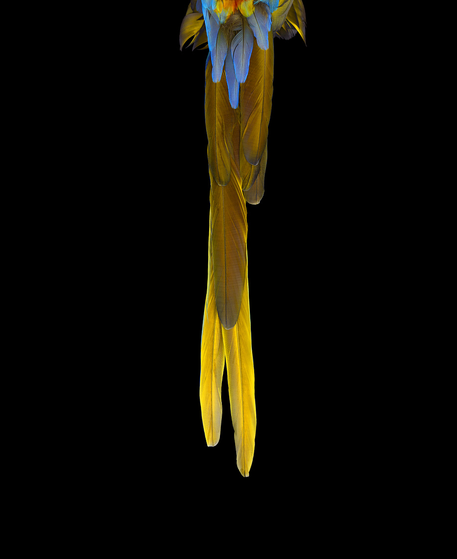 Catalina macaw tail feathers by fine art animal photographer Brad Wilson