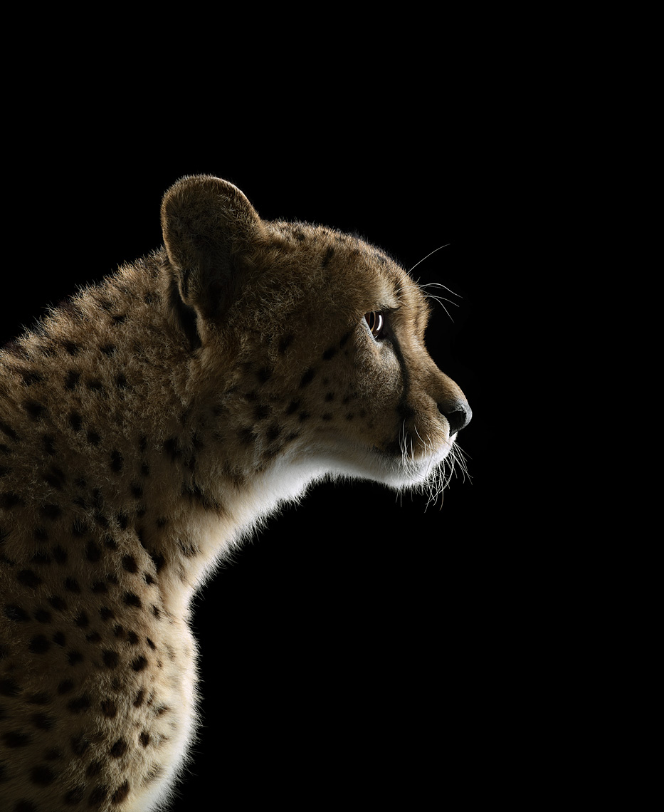 Cheetah profile portrait by wildlife photographer Brad Wilson