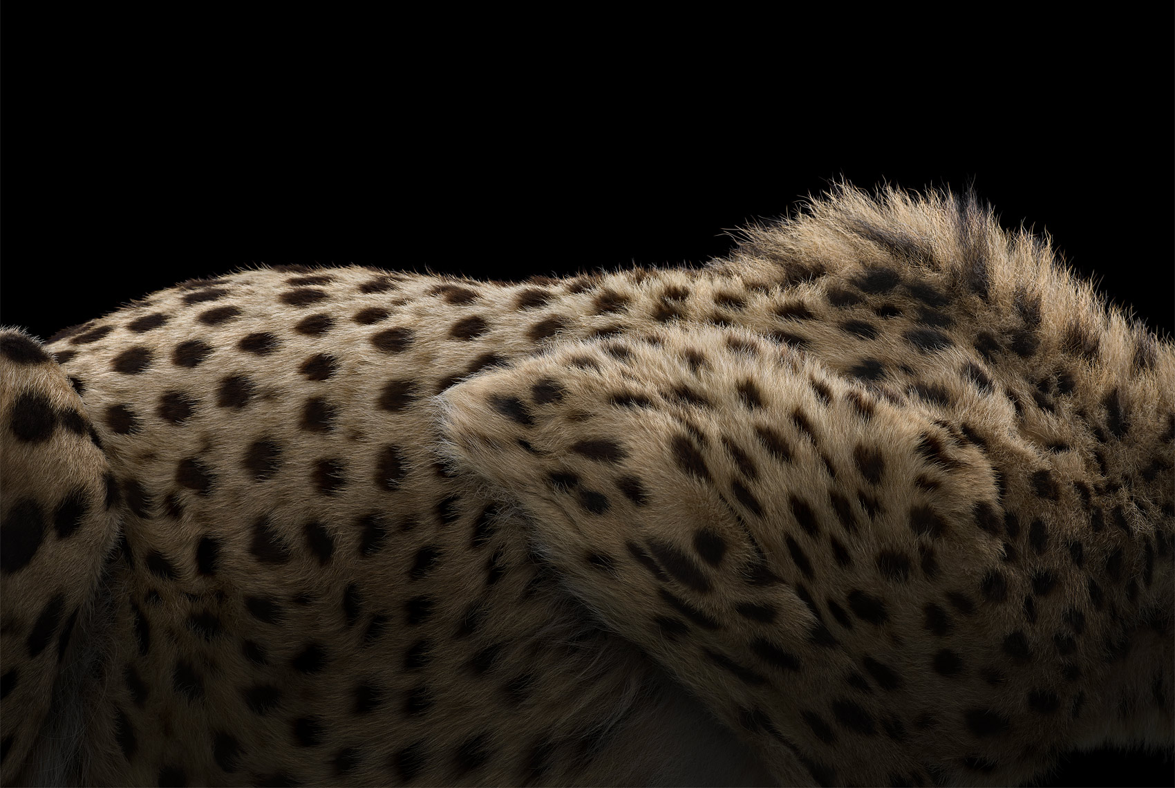 Cheetah fur by fine art animal photographer Brad Wilson