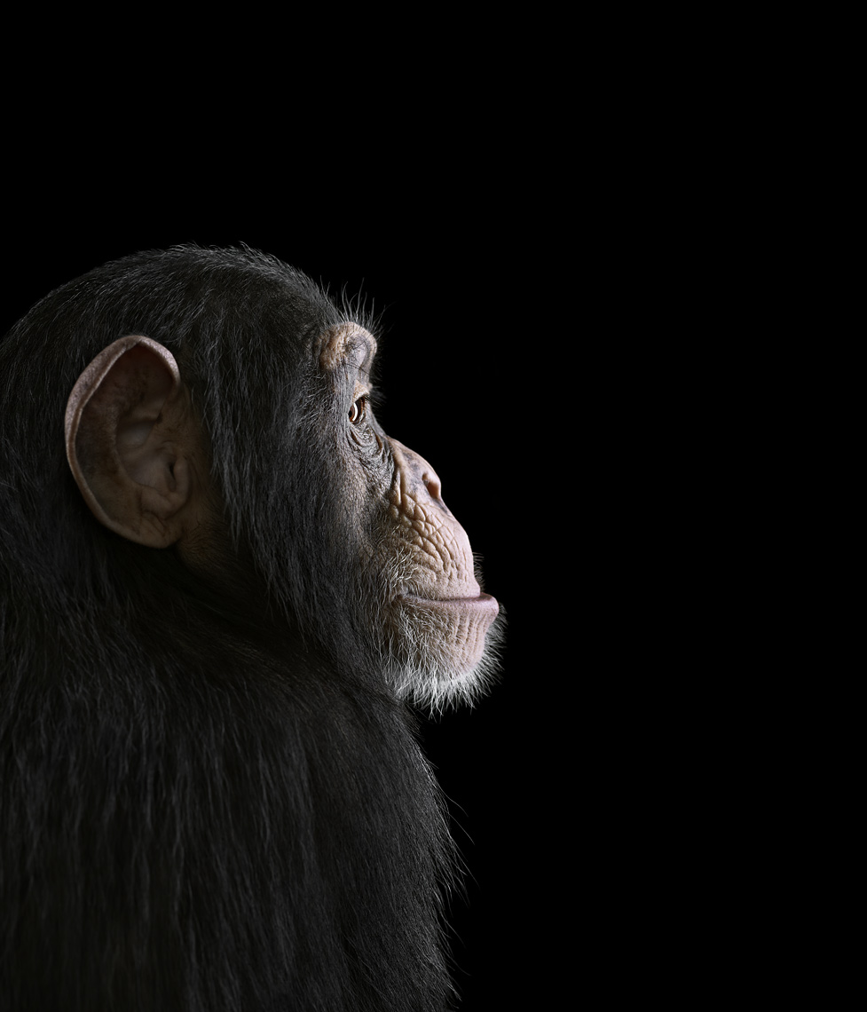 Chimpanzee profile portrait by fine art wildlife photographer Brad Wilson