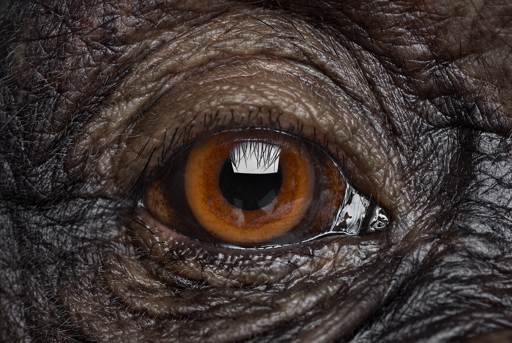Chimpanzee eye close up studio portrait by wildlife photographer Brad Wilson