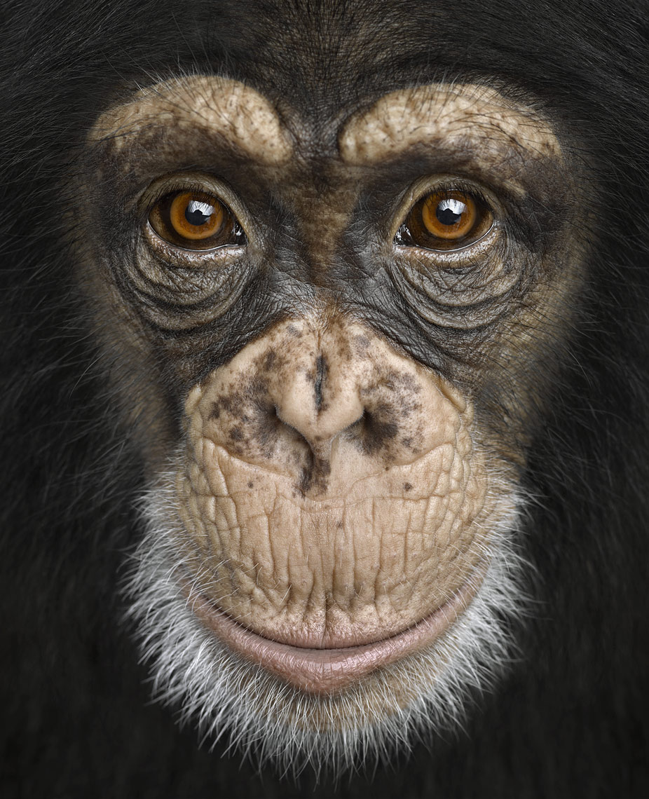 Chimpanzee close up frontal portrait by wildlife photographer Brad Wilson