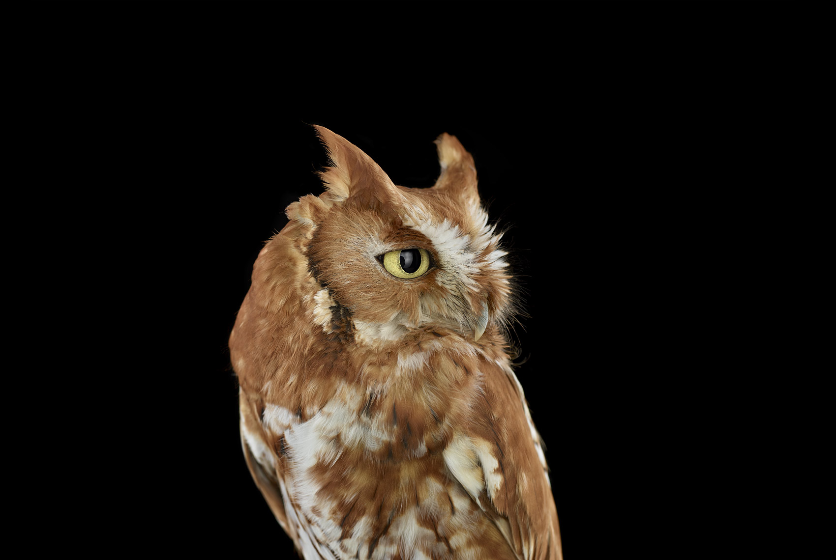 Eastern screech owl profile portrait by fine art wildlife photographer Brad Wilson