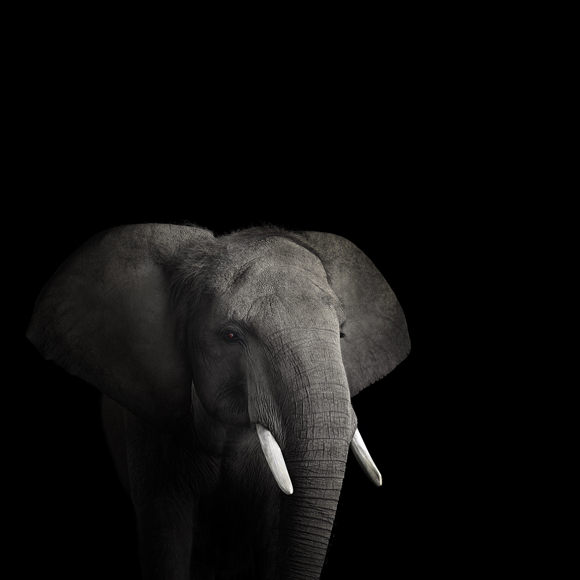 Young African elephant studio portrait by wildlife photographer Brad Wilson