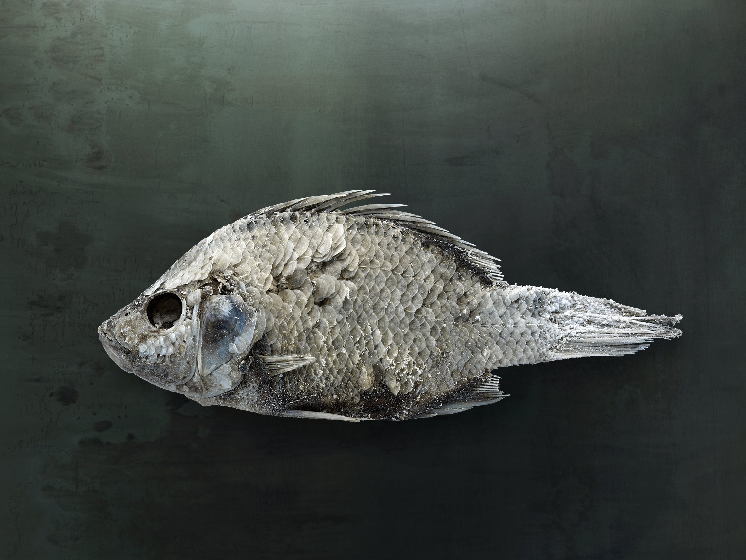 Salton Sea fish still life by animal photographer Brad Wilson