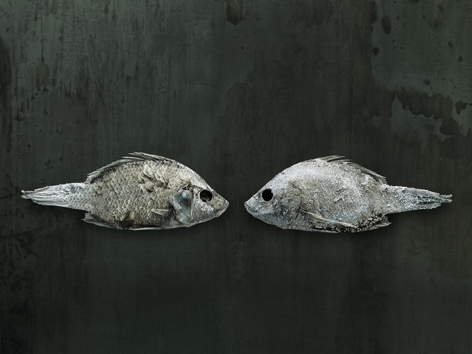 Salton Sea fish still life by wildlife photographer Brad Wilson