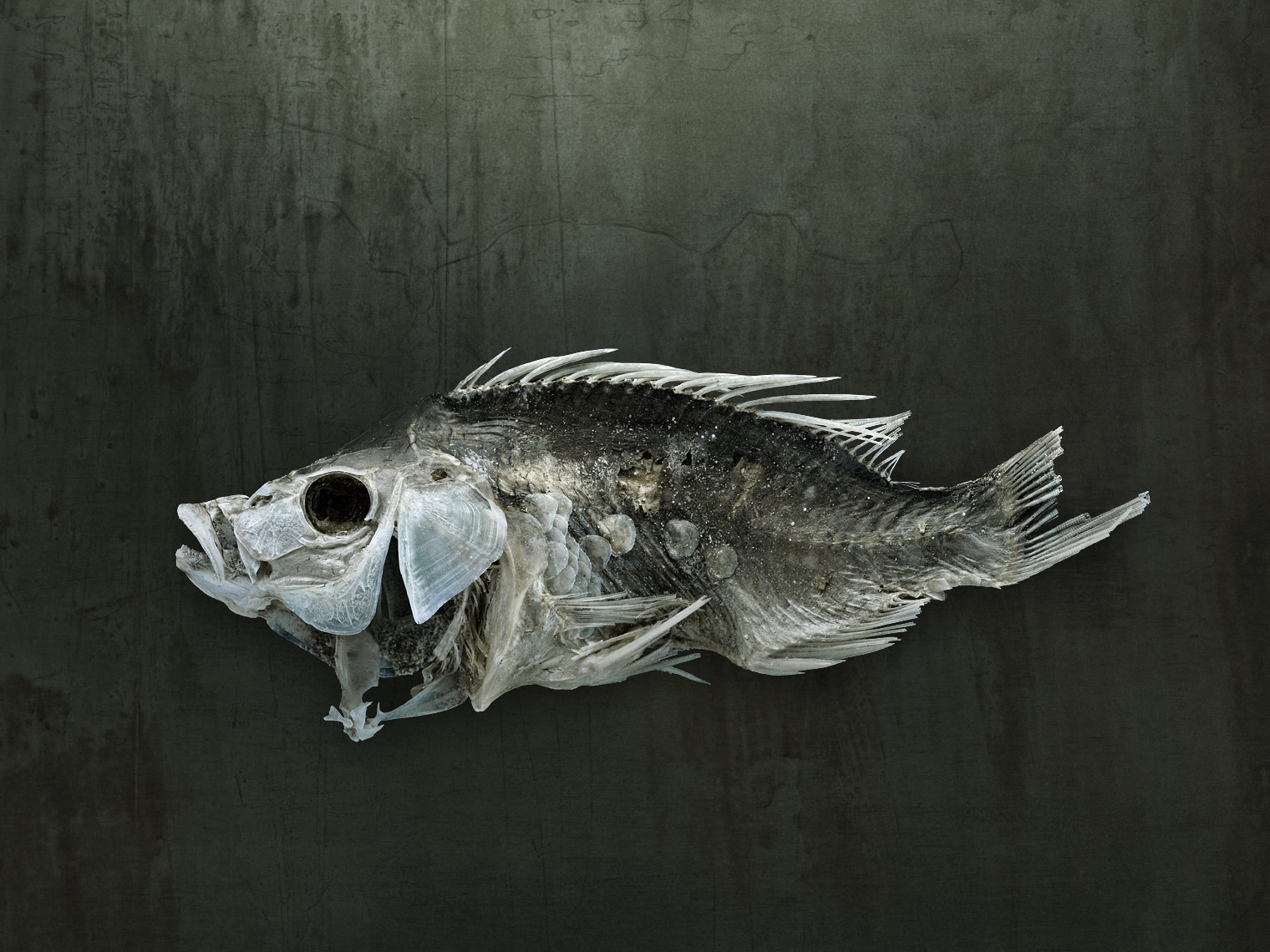 Salton Sea fish study by fine art wildlife photographer Brad Wilson