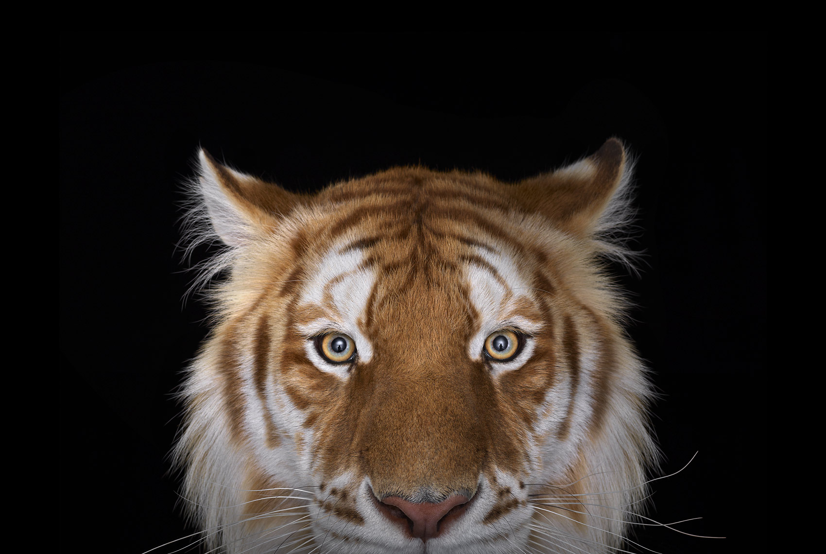 Golden Tiger 3