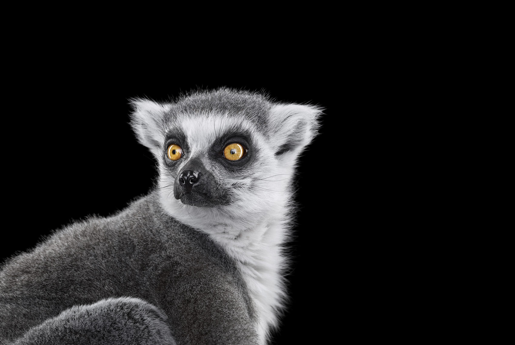 Ring-tailed lemur studio portrait by wildlife photographer Brad Wilson