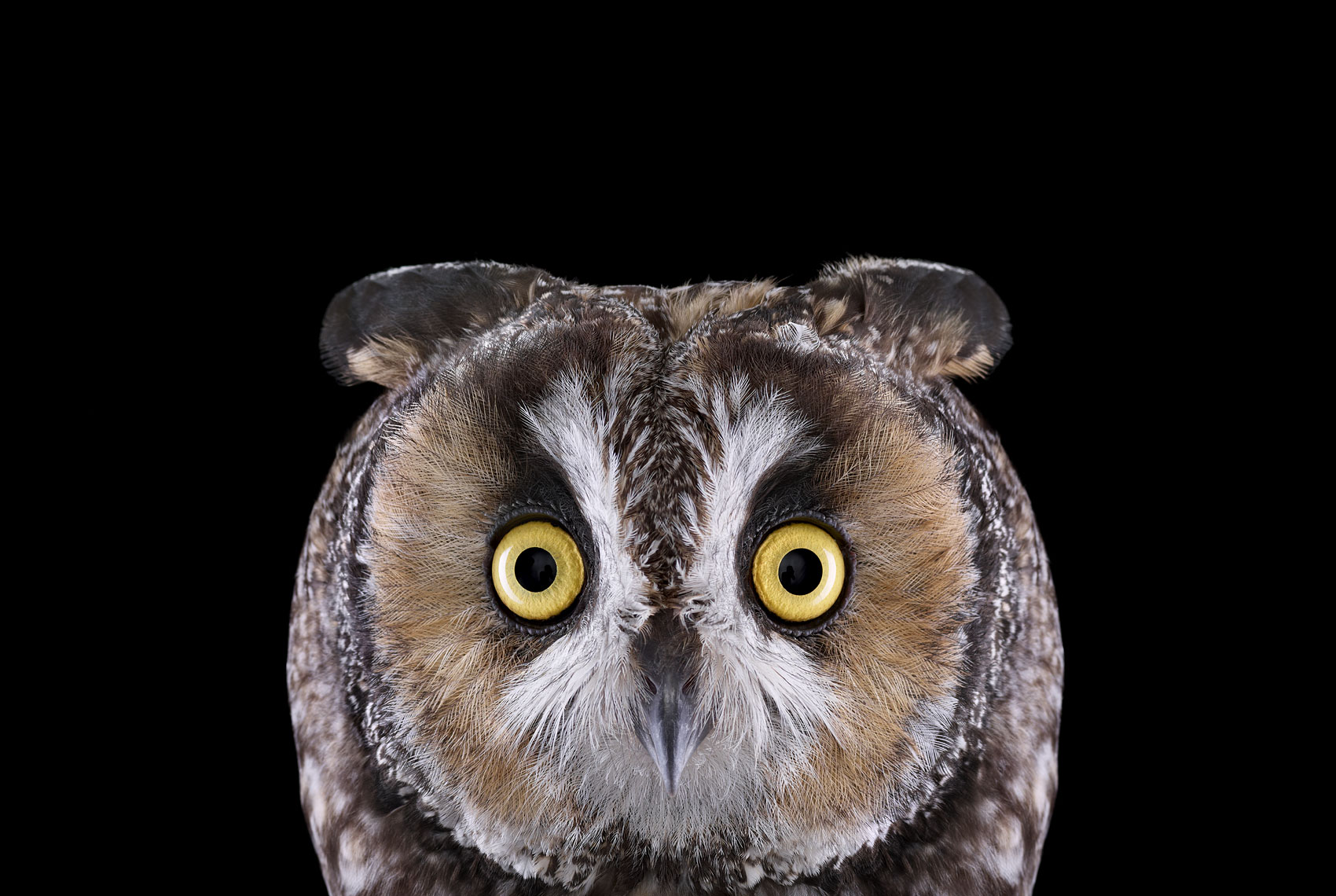 Long eared owl frontal portrait by fine art wildlife photographer Brad Wilson