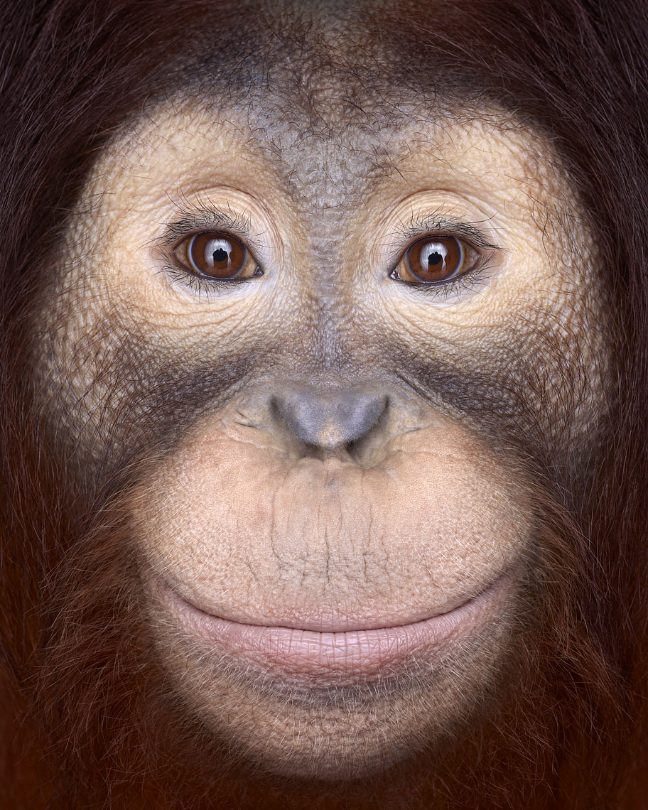 Orangutan frontal portrait by wildlife photographer Brad Wilson