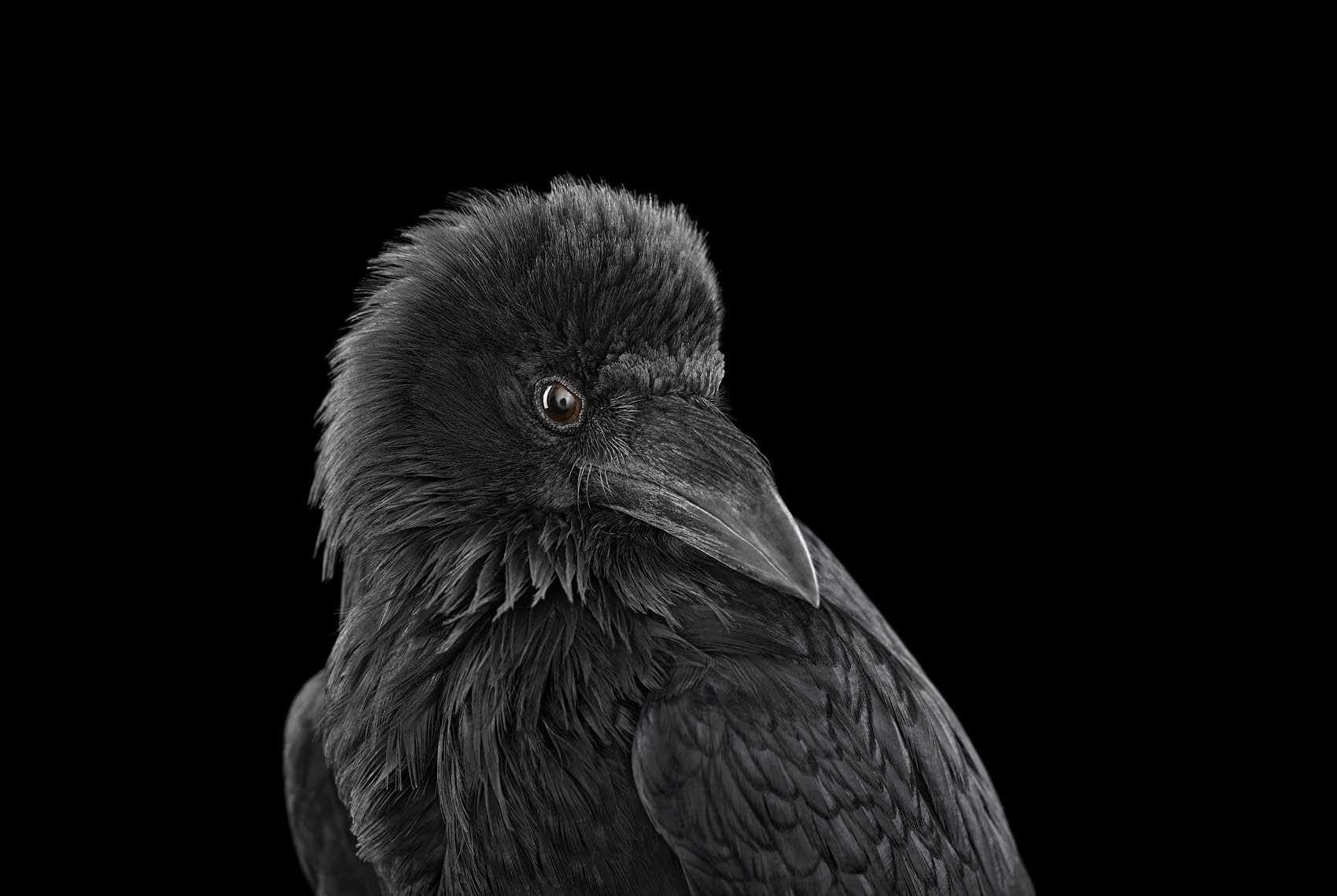 Raven studio portrait by fine art wildlife photographer Brad Wilson