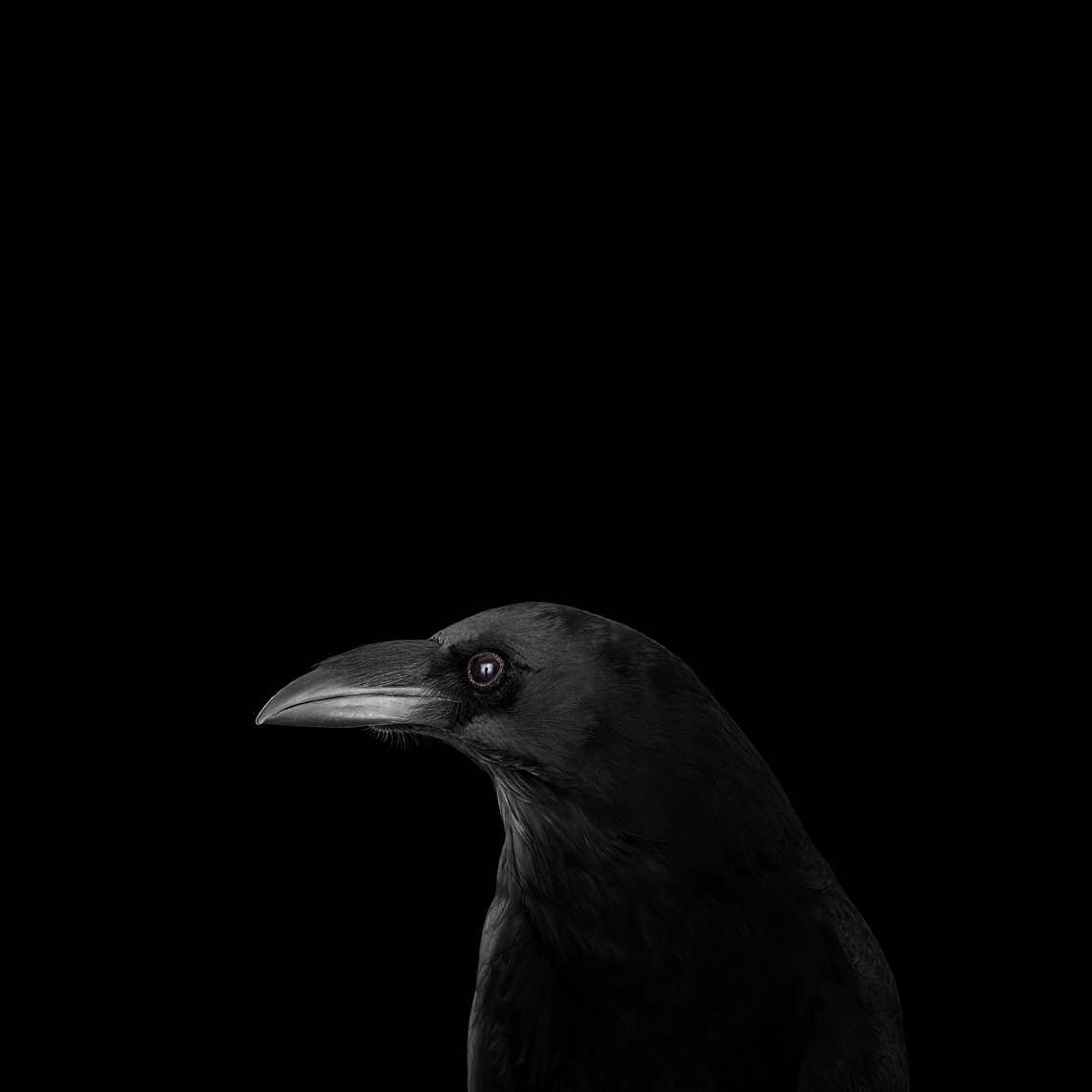 Raven profile portrait by fine art animal photographer Brad Wilson
