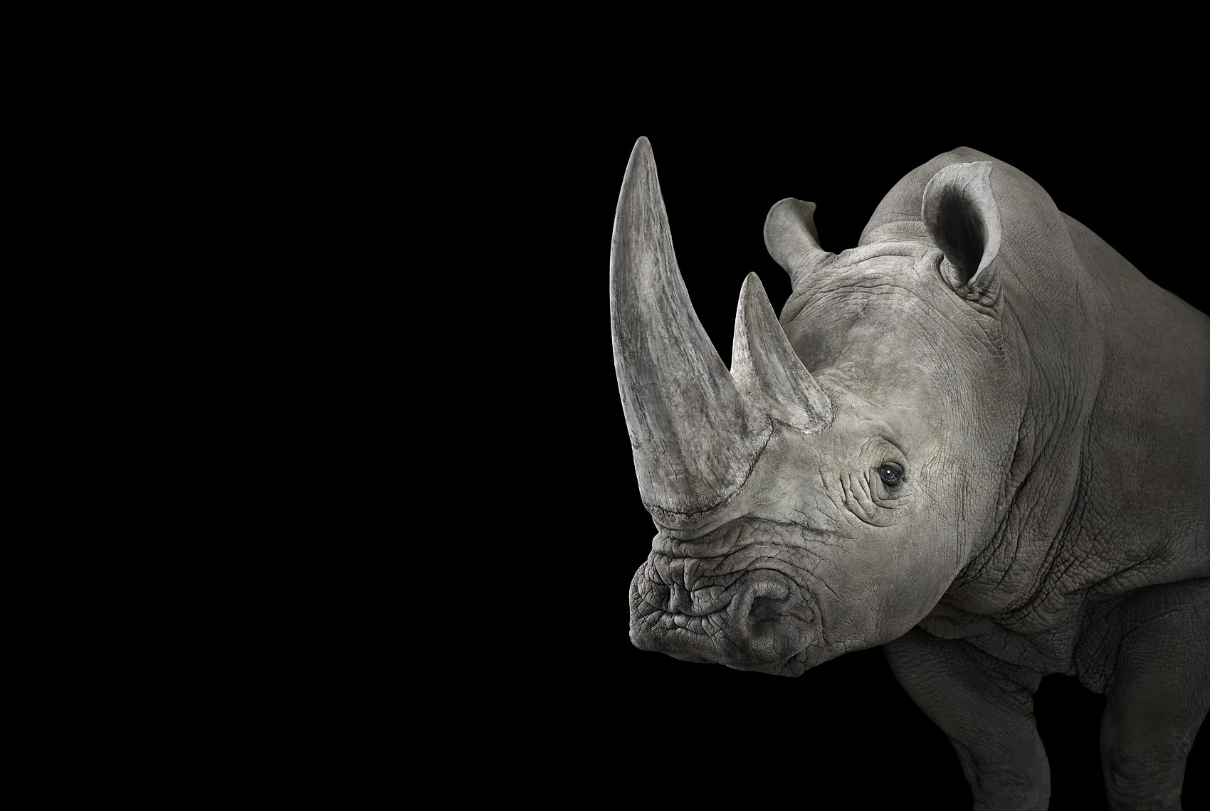 White rhinoceros studio portrait by fine art wildlife photographer Brad Wilson