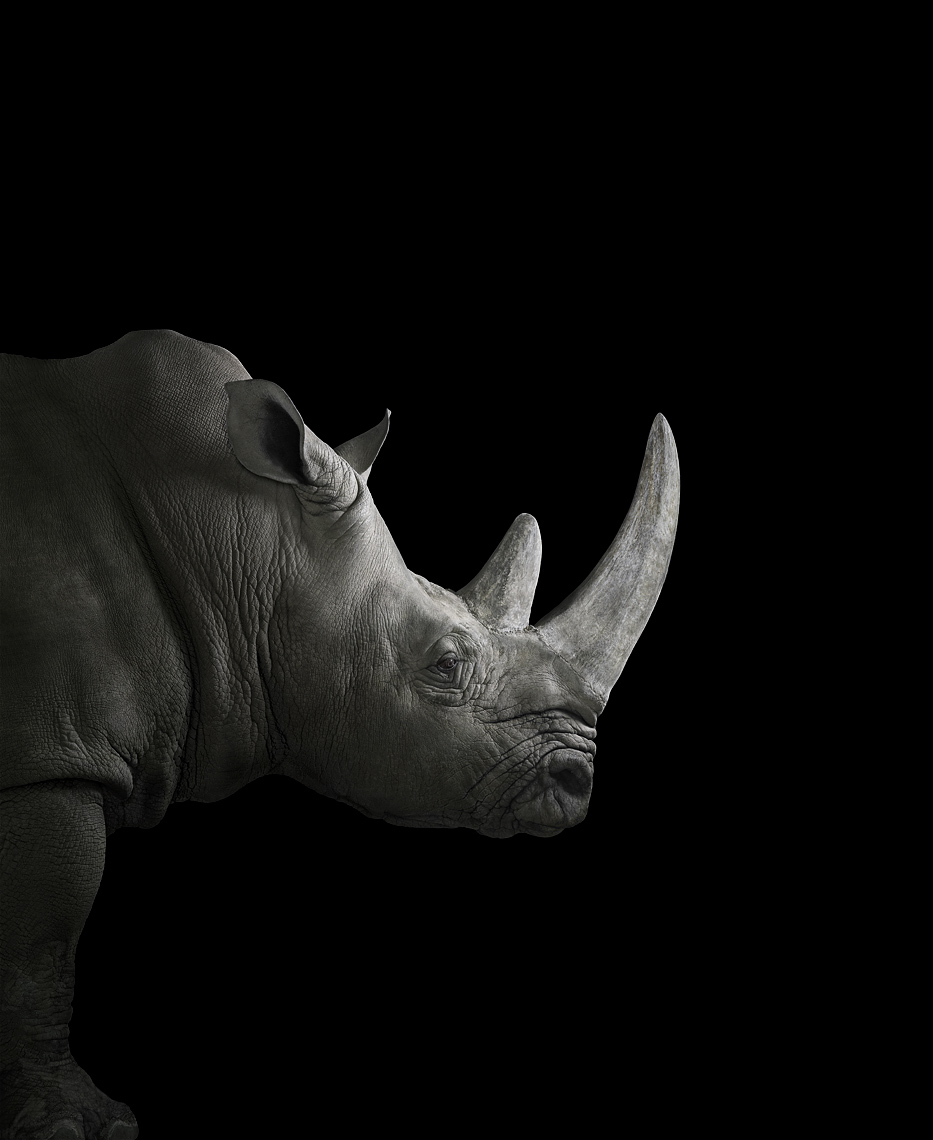 White rhinoceros profile portrait by fine art animal photographer Brad Wilson