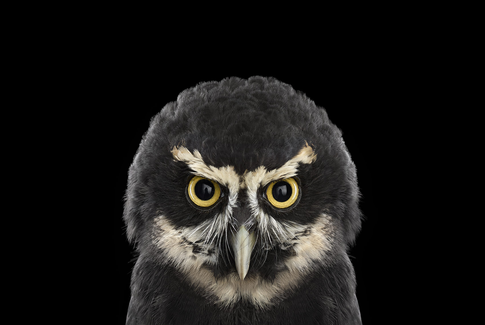 Spectacled owl frontal portrait by fine art animal photographer Brad Wilson