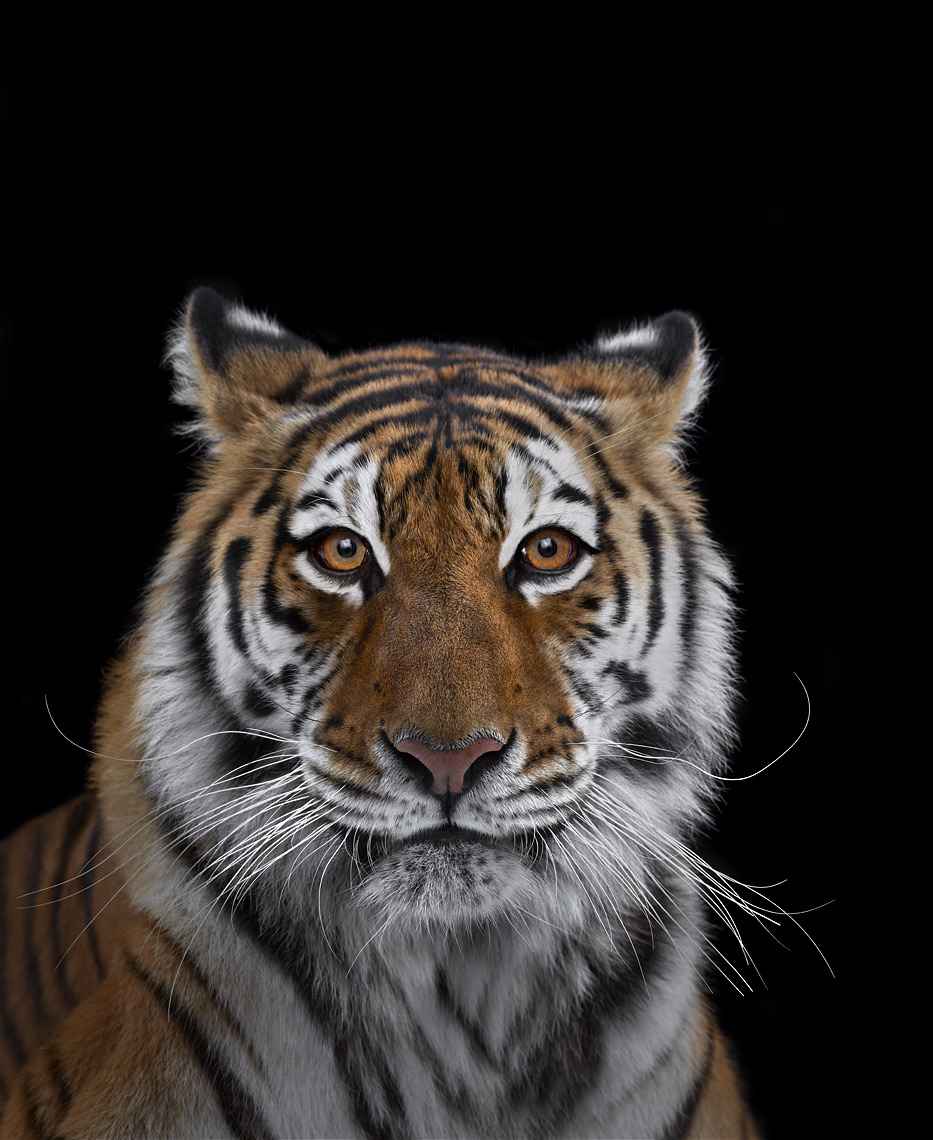 Tiger frontal portrait by wildlife photographer Brad Wilson