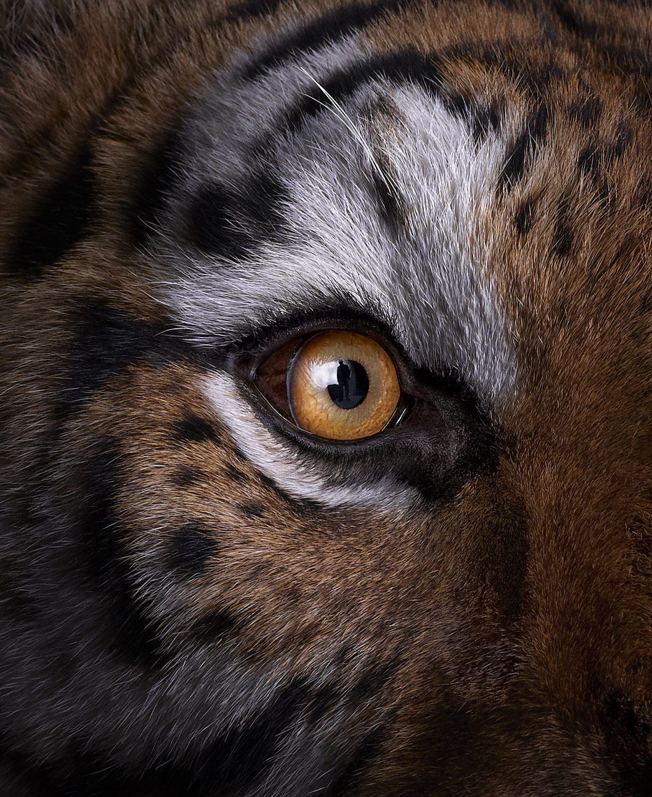 Tiger portrait close up by fine art animal photographer Brad Wilson