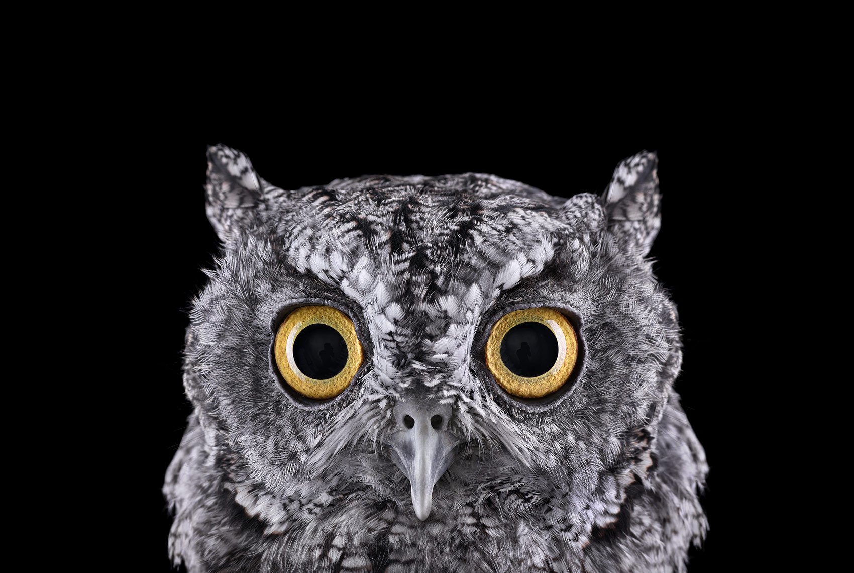 Western screech owl portrait by fine art animal photographer Brad Wilson