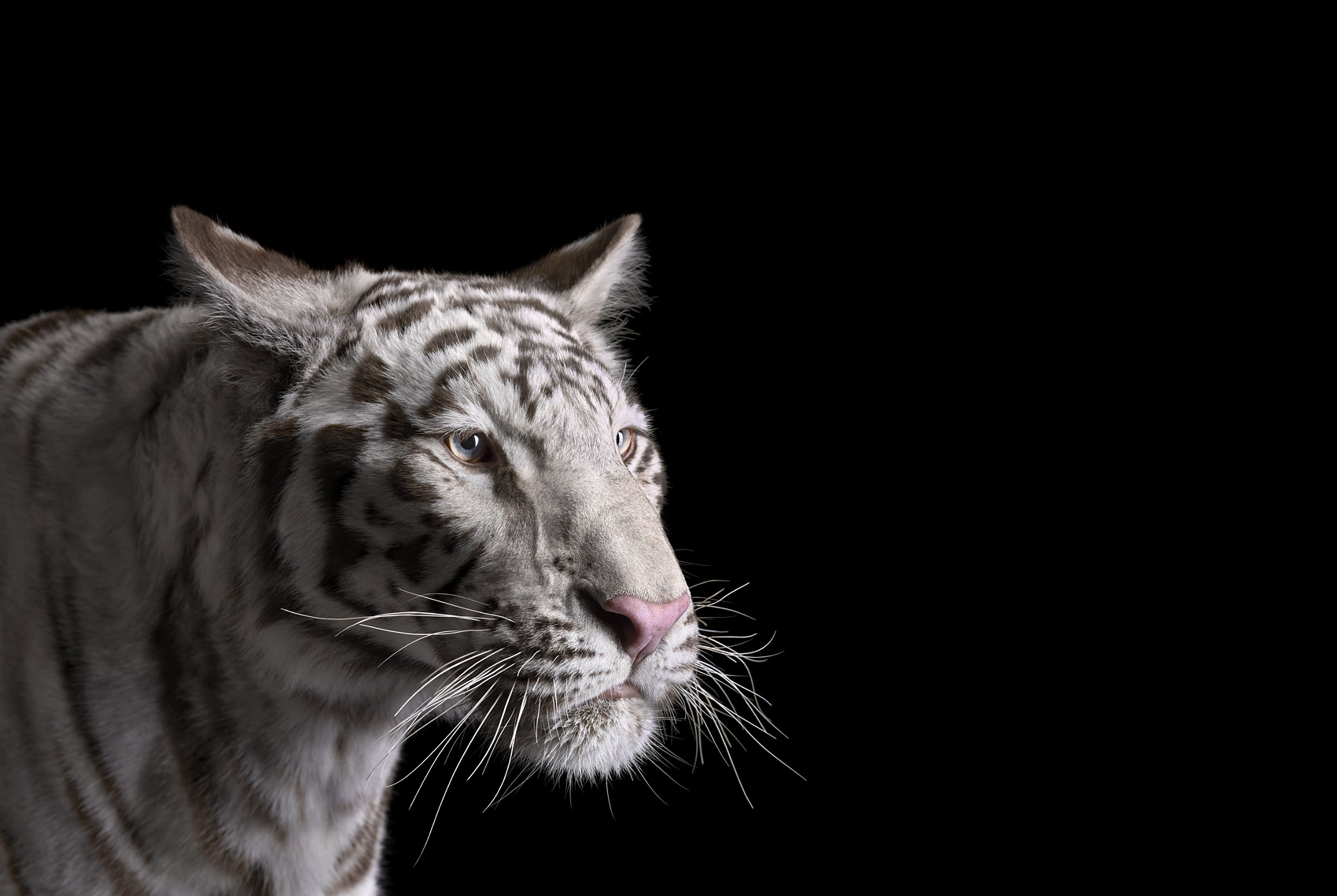 White tiger portrait by fine art wildlife photographer Brad Wilson